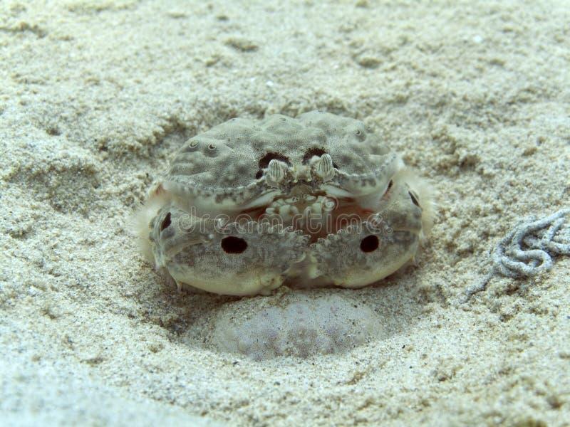 Box Crab - Calappa philargius