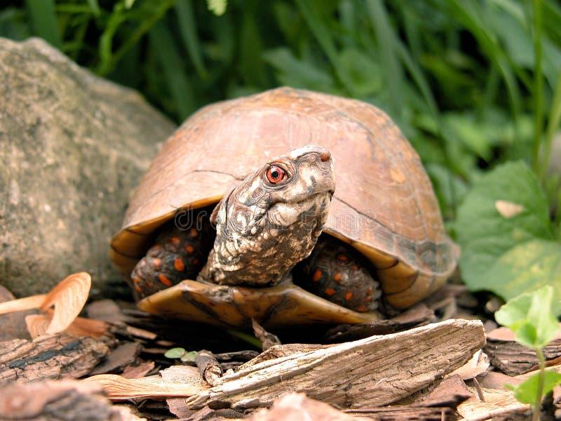 box den head manlign vända sköldpaddan royaltyfria bilder