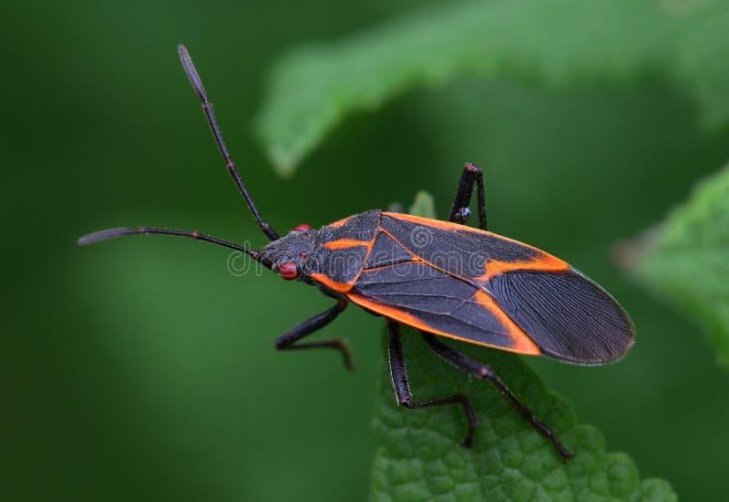 Box Elder Bug stock photo