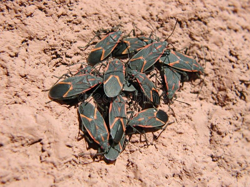 Box Elder Bugs stock images