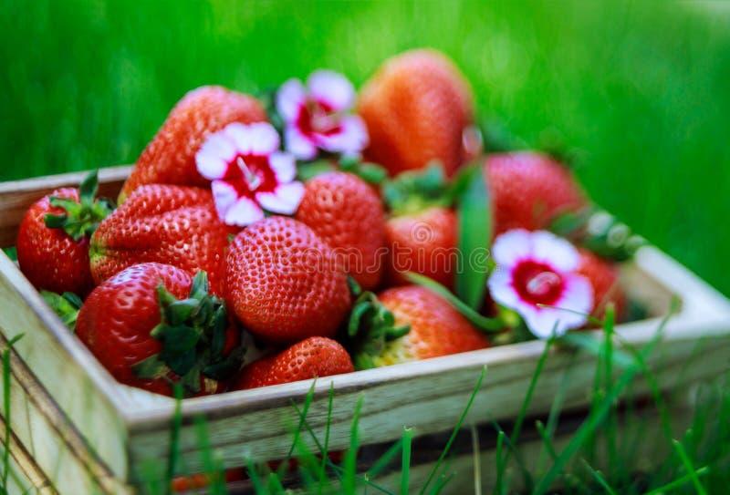 Box of fresh strawberries outdoors soft focus sharpness. A farm garden strawberry healthy ripe sweet eating green freshness red summer fruit organic dessert stock photography