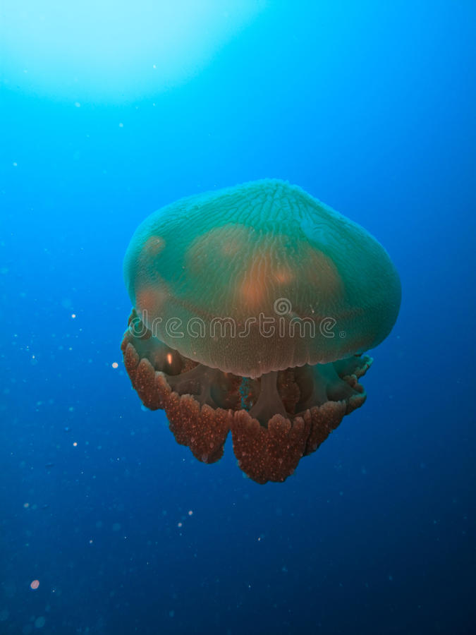 Box jellyfish Great Barrier Reef Australia stock photography