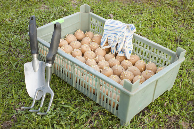 The box with the of seed potatoe stock image