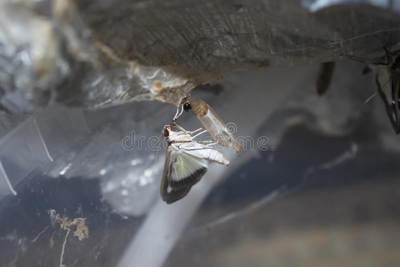 Box tree moth on a chrysalis. The picture shows a box tree moth on a chrysalis royalty free stock image