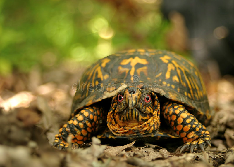 Download Box Turtle stock image. Image of reptile, wildlife, shell - 203725
