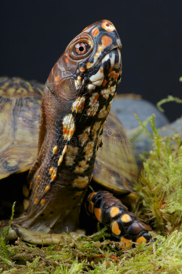 Download Box Turtle stock photo. Image of reptile, canadian, bright - 28041760