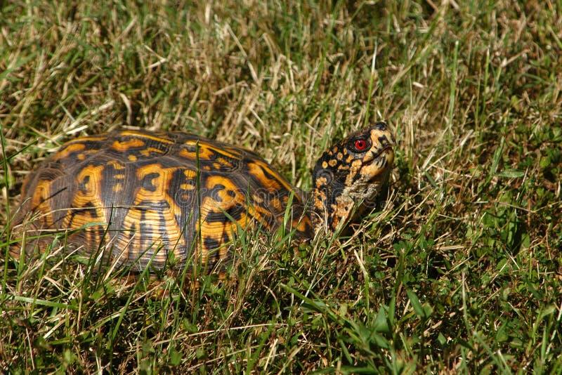 Box Turtle II royalty free stock photo