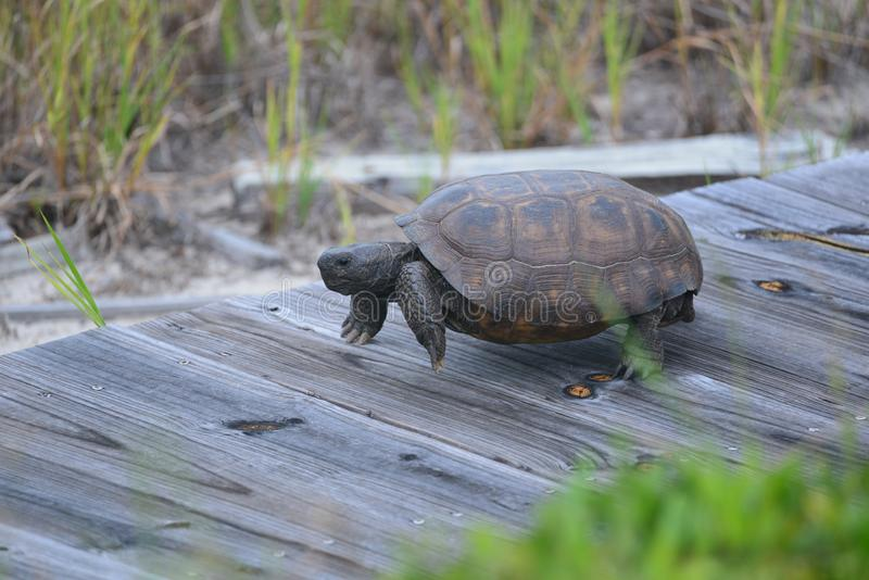 The gopher tortoise is single-minded in its drive to get to its nest along the North Florida beach boardwalk royalty free stock photos