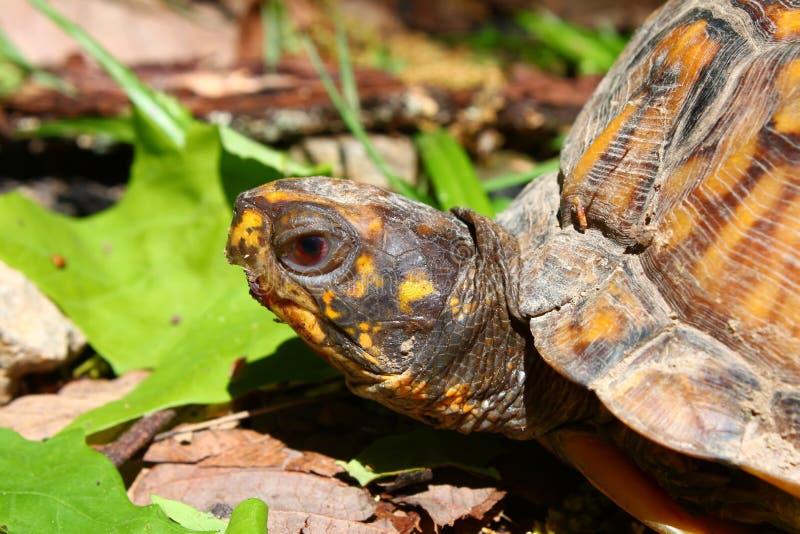 Download Box Turtle (Terrapene Carolina) Stock Image - Image: 15509513