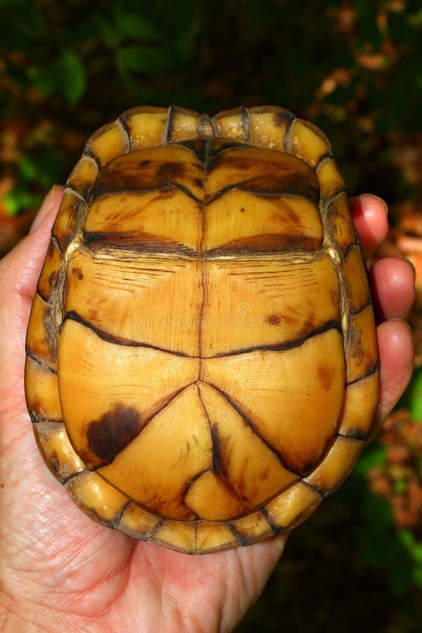 Download Box Turtle (Terrapene Carolina) Royalty Free Stock Images - Image: 15996819