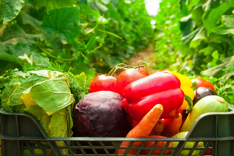 Box with vegetables in a greenhouse stock photography