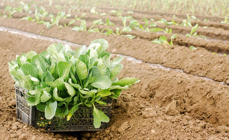 Box with young cabbage seedlings in the field. Eco-friendly products. Growing organic vegetables. Agricultural crops. Ukraine, royalty free stock photo