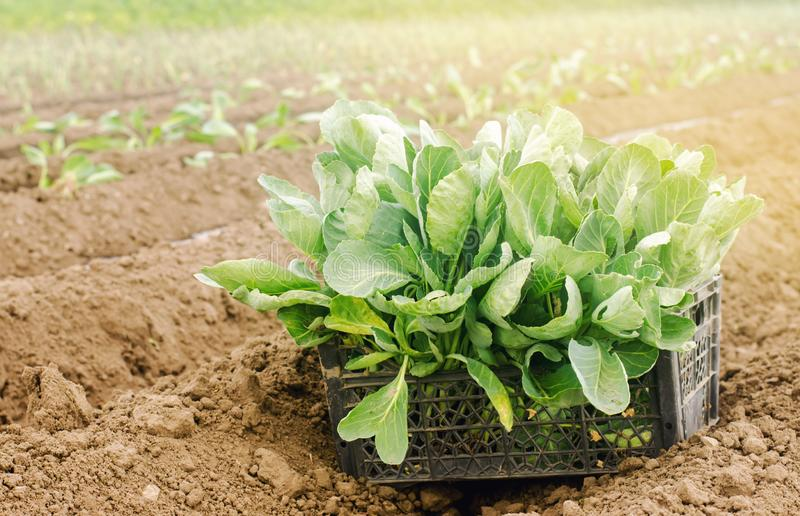Box with young cabbage seedlings in the field. Eco-friendly products. Growing organic vegetables. Agricultural crops. Ukraine, royalty free stock photos