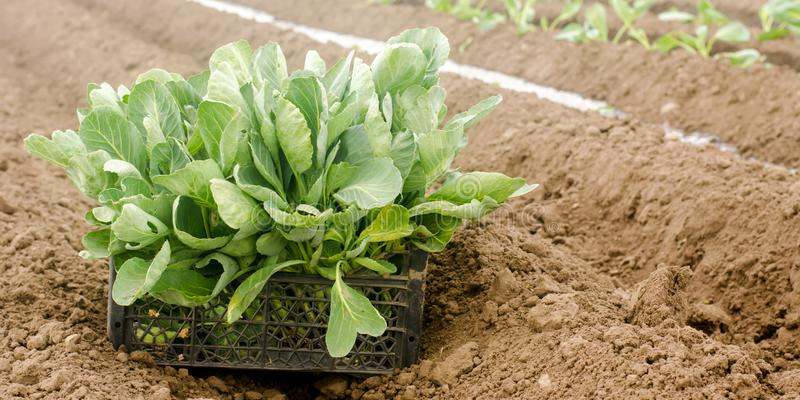 Box with young cabbage seedlings in the field. Eco-friendly products. Growing organic vegetables. Agricultural crops. Ukraine, stock photos