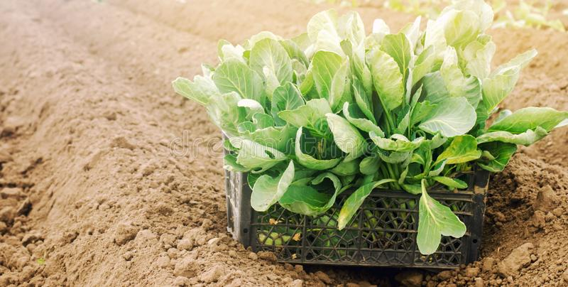 Box with young cabbage seedlings in the field. Eco-friendly products. Growing organic vegetables. Agriculture and farming. royalty free stock photos