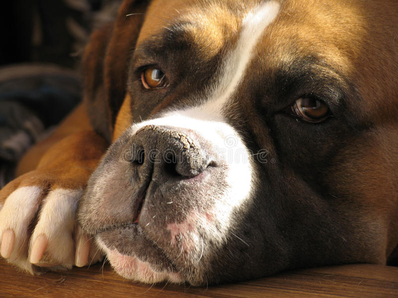 boxarehund arkivfoto