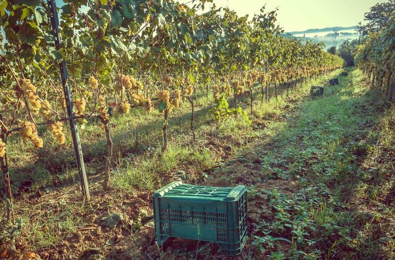 Boxas för att skörda druvan på den härliga grapeyarden av Tuscany, med gröna dalar och kullar omkring Vinkultur av Italien arkivbilder