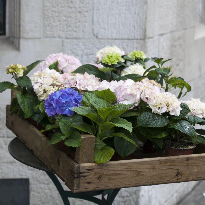 Boxas med rosa färger och slösa vanliga hortensior som en garnering för ingången av huset arkivbild