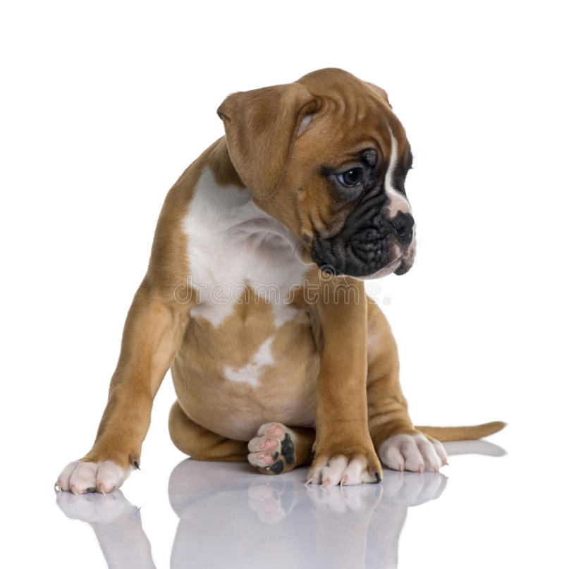Boxeador del perrito, 2 meses, sentándose imagen de archivo libre de regalías