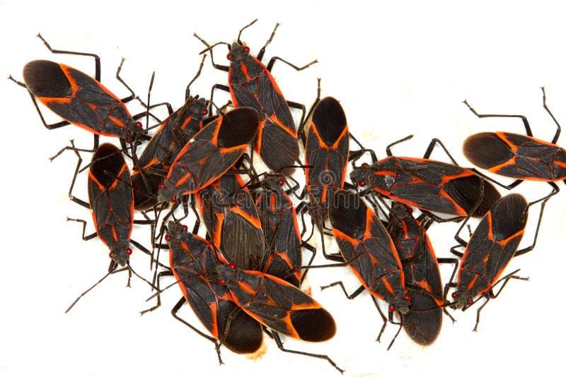 Boxelder Bugs (Boisea trivittata) in Illinois. Gathering of Boxelder Bugs (Boisea trivittata) on a spring day in Illinois royalty free stock photography