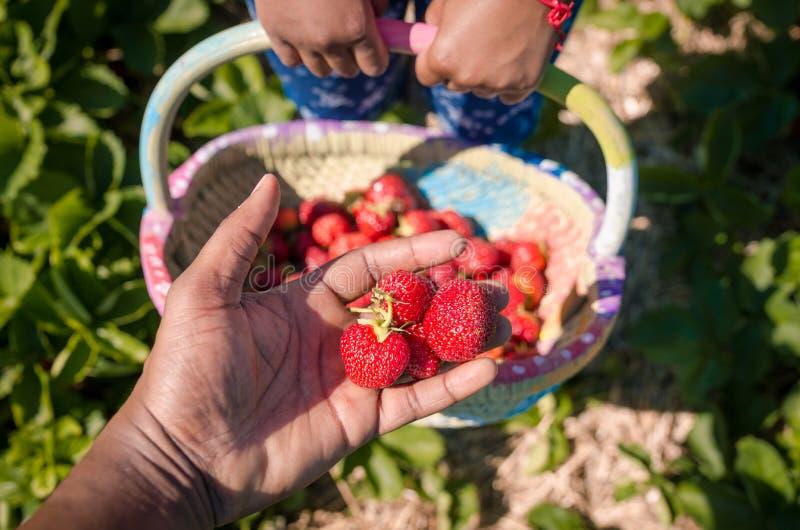 Boxen Sie voll von den frischen organischen Erdbeeren auf dem Gebiet lizenzfreies stockbild