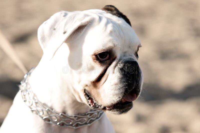 Download Boxer stock photo. Image of walk, mammal, ears, female - 27612508