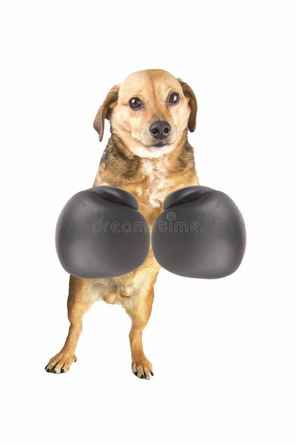 Download Boxer stock photo. Image of pugilato, cut, muay, cute - 29065872