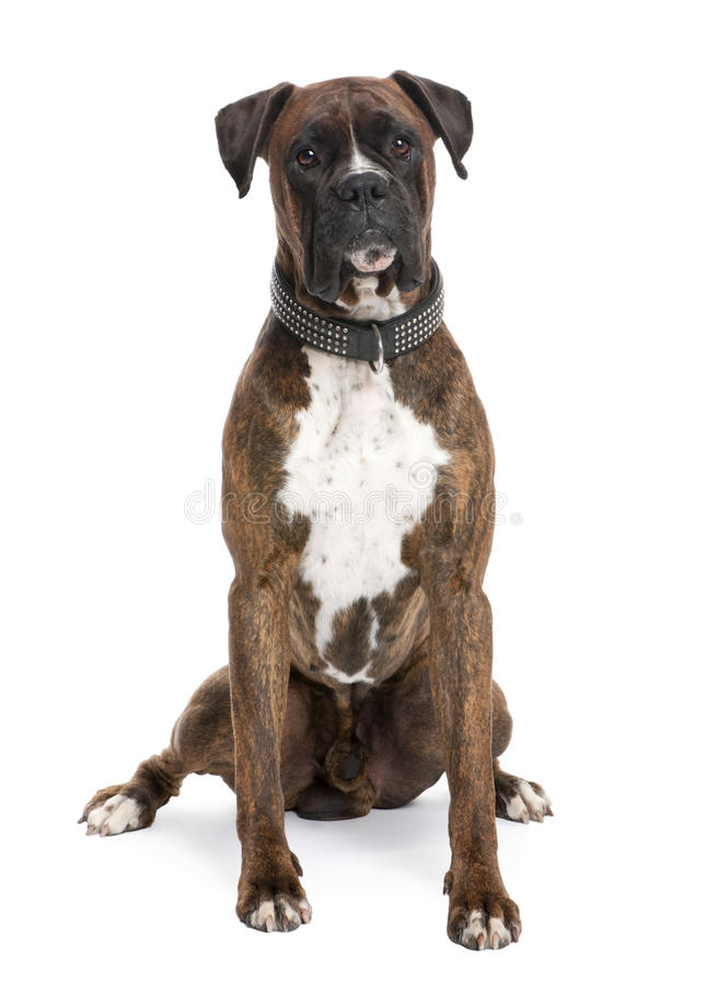 Boxer (4 Jahre alt) lizenzfreie stockbilder