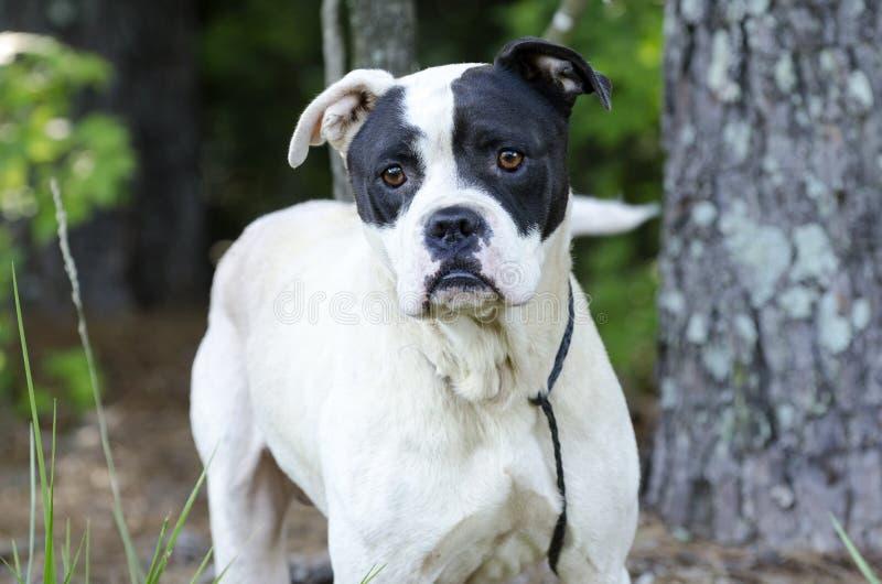 Boxer American Bulldog Mixed Breed Dog Stock Photo - Image ...