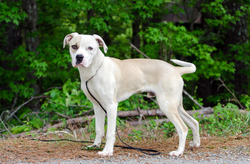 Boxer American Bulldog mixed breed dog. Young male tan and white Boxer American Bulldog mixed breed dog, outdoor background, Walton County Animal Control Shelter royalty free stock image