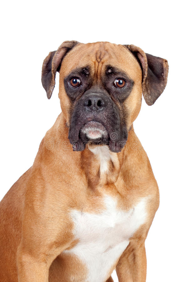 Download Boxer breed dog stock image. Image of canine, isolated - 14844581