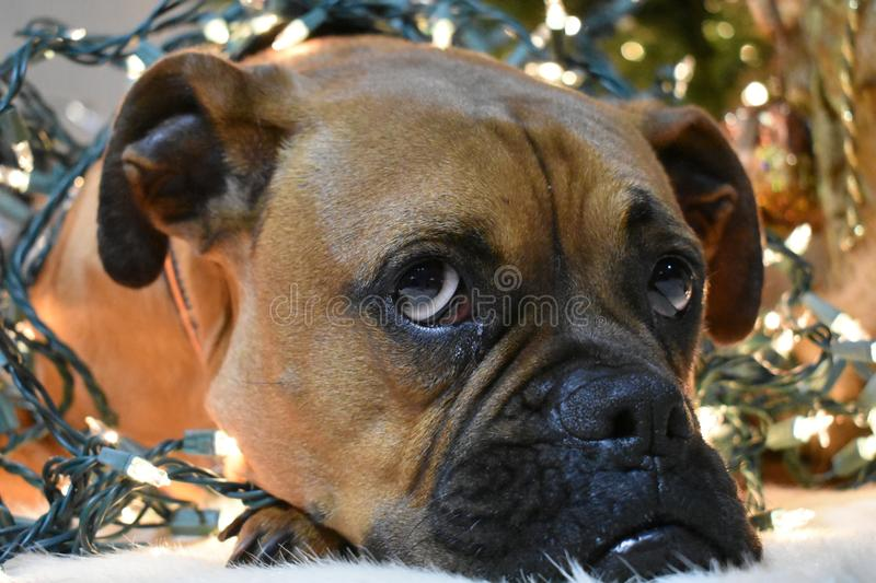 Boxer Breed Dog Christmas Portrait stock images