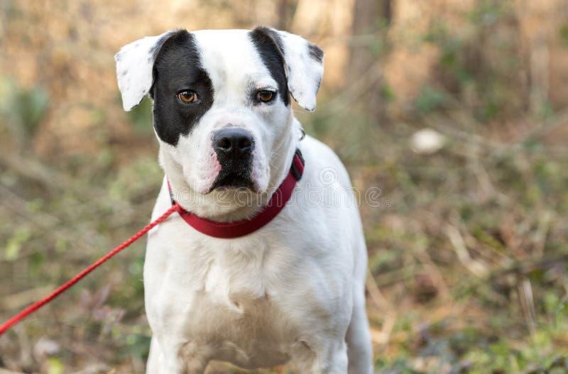 Boxer Bulldog mistura cão de raça com colarinho vermelho e coleira fora imagem de stock