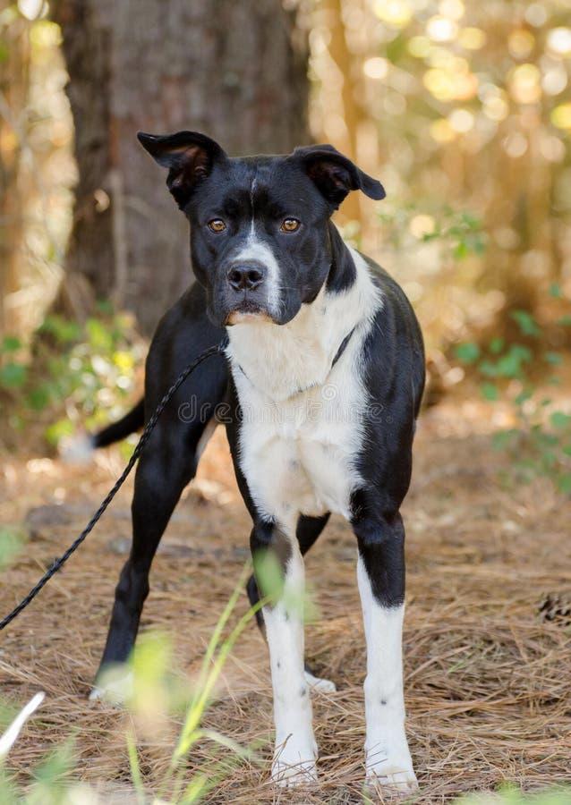 Boxer Bulldog mixed breed dog. Black and white Boxer Bulldog mixed breed dog, Walton County Animal Control, humane society adoption photo, outdoor pet royalty free stock images