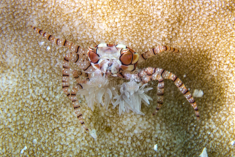 Boxer Crab. Lybia sp. boxer crab sitting on hard coral royalty free stock photos
