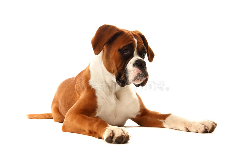 Boxer Dog. This is a photo of a young boxer dog named Lulu stock photos