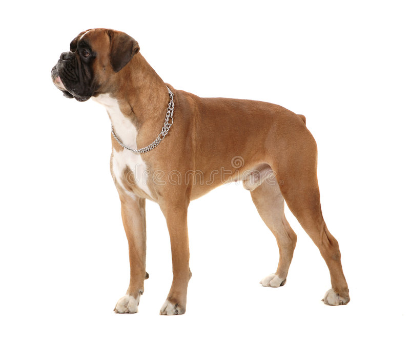 Boxer dog. In perfect pose royalty free stock images