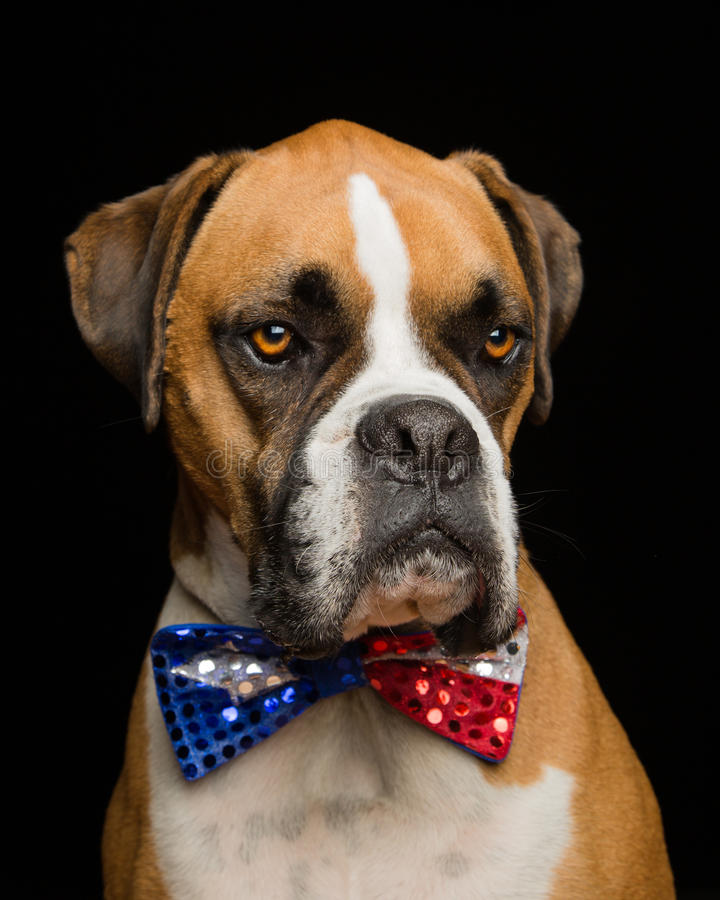 Free Boxer Dog 4th Of July Bowtie Stock Photography - 32037672