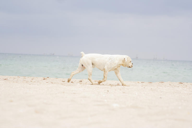 Boxer Dog on the Beach stock photo