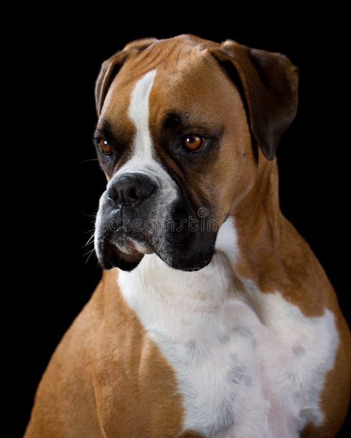 Boxer Dog on Black. Boxer Dog portrait, black background royalty free stock image