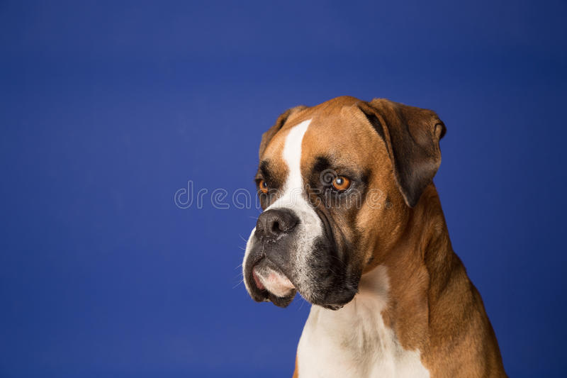 Download Boxer Dog on Blue stock photo. Image of posing, head - 32037676