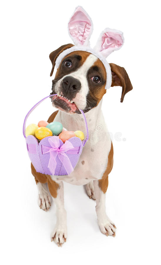 Boxer Dog Carrying Easter Basket. A tri-colored Boxer dog sitting down and looking up while wearing bunny ears and holding an Easter Basket in her mouth stock photos