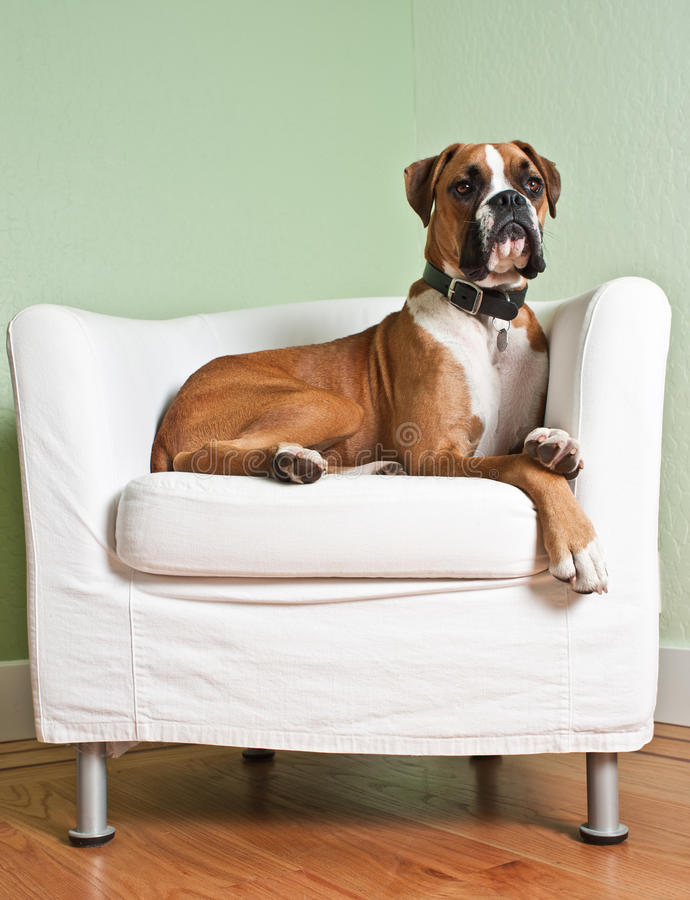 Boxer Dog in Chair. Boxer dog lounging on a modern white chair