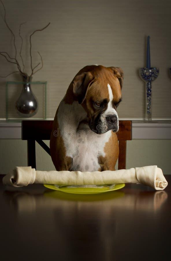 Boxer Dog Dinner. Boxer dog sitting down to dinner stock image