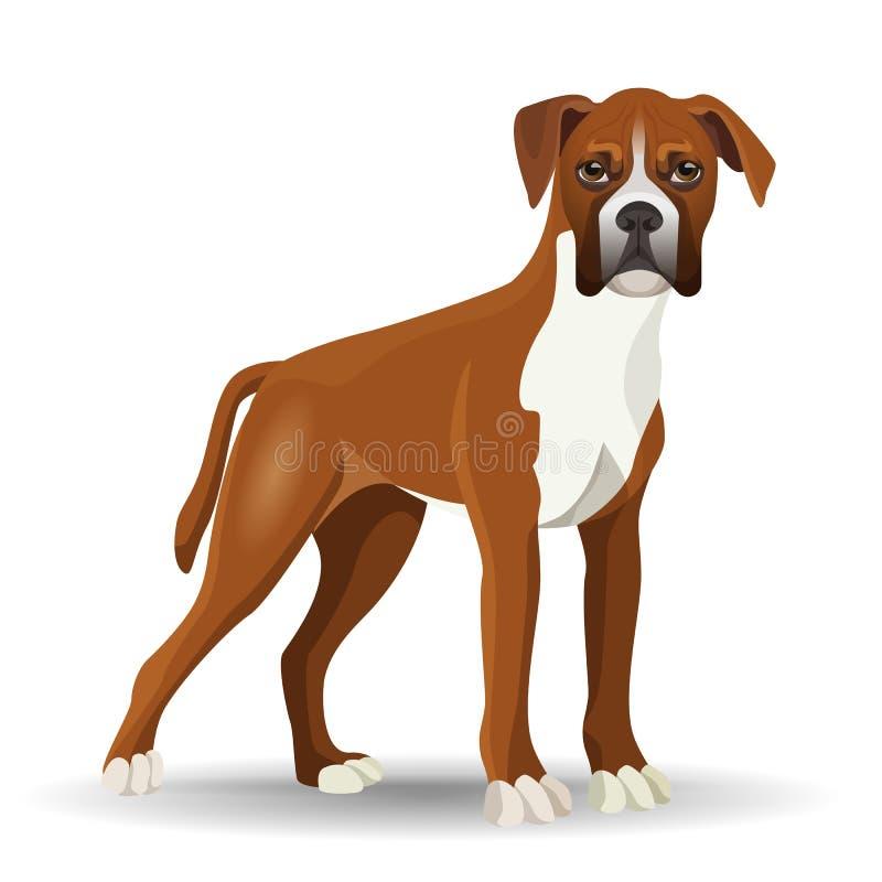 Boxer dog full length vector illustration isolated on white stock illustration