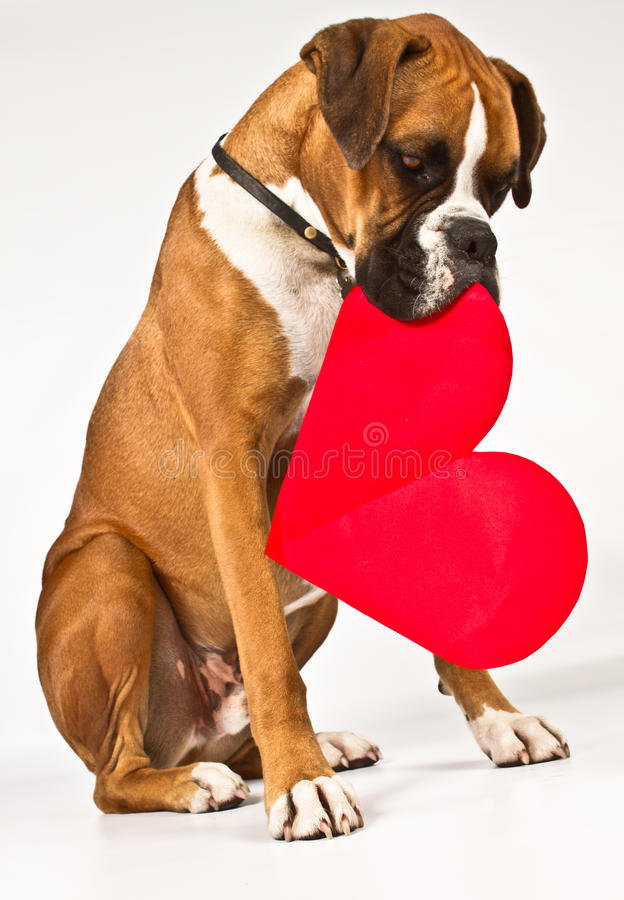 Boxer dog with a heart. Boxer dog holding a big read heart royalty free stock image
