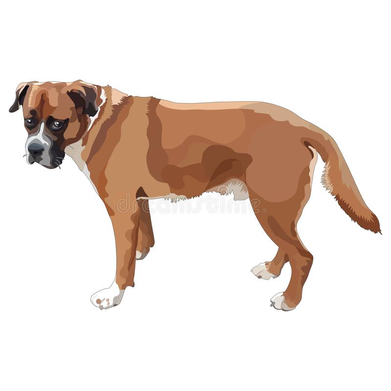 Boxer Dog Illustrazione vettoriale royalty illustrazione gratis
