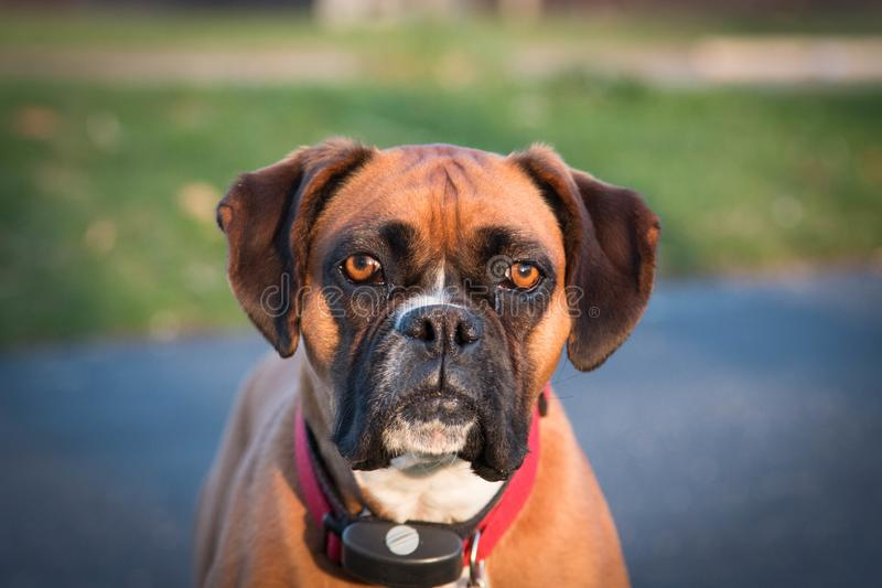 Boxer dog keeps watch in the neighborhood. Brown and White Boxer Dog gives a stoic look stock image
