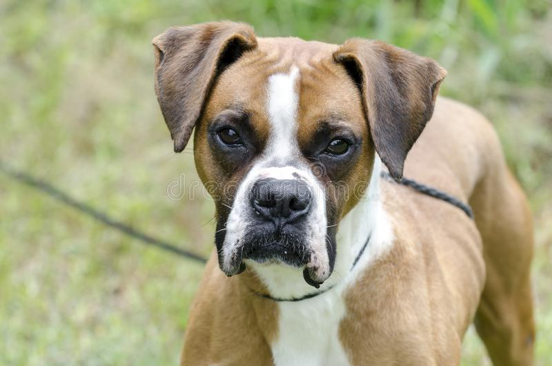 Boxer Dog on leash, pet adoption photography. Unneutered male red and white Boxer dog outdoors on leash. Pet adoption photography for Walton County Animal royalty free stock image