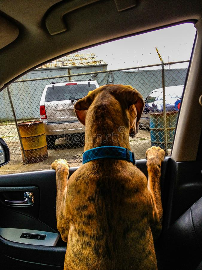 dog in a car looks out of the window stock image